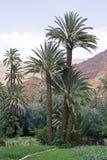 Plantations de datte Photo libre de droits