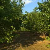 Plantations de noisette photographie stock libre de droits