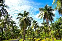 Plantations de noix de coco Images libres de droits