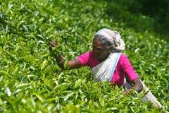 Plantations de thé Photo libre de droits