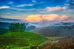 plantations de thé Images libres de droits