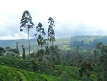 Plantations de thé dans le pays de colline Photographie stock