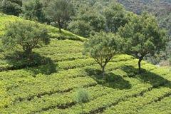 Plantations de thé dans les collines de Nuwara Elia Photographie stock