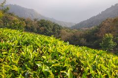 Plantations de thé dans Munnar, Kerala Photos libres de droits