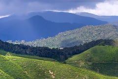 Plantations de thé de Cameron Image libre de droits