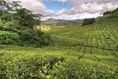 Plantations de thé de Cameron Image stock