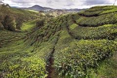 Plantations de thé de Cameron Photo stock