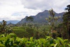 plantations de thé de Haut-montagne Photographie stock libre de droits