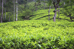 Plantations de thé de Sri Lanka Image libre de droits