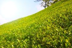 Plantations de thé de Sri Lanka Image stock
