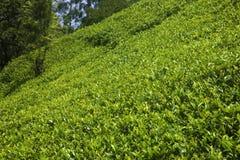 Plantations de thé de Sri Lanka Images libres de droits