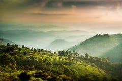 Plantations de thé en Inde (lentille de décalage d'inclinaison) Photographie stock libre de droits