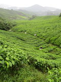 Plantations de thé en Malaisie Images stock