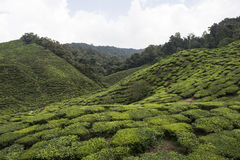 Plantations de thé sur Cameron Highlands Tanah Rata, Malaisie Photos libres de droits