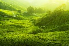 Plantations de thé Photo stock