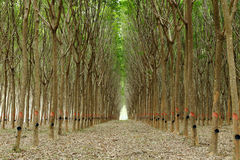Plantations en caoutchouc Photos libres de droits