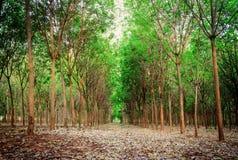 Plantations en caoutchouc Images libres de droits