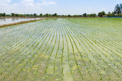 Plantations rice seedlings stock photography