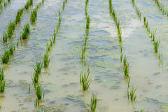 Plantations rice seedlings stock photo