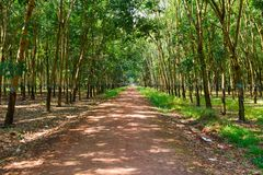 Plantations of rubber trees Royalty Free Stock Images