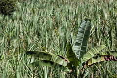 Plantations of sugar cane. Royalty Free Stock Photos