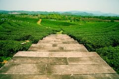 Plantations of tea in the Mae Salong Valley. Northern Thailand Royalty Free Stock Images