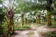 Plantationtion del aceite de palma fotografía de archivo