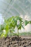 plantatomat Royaltyfri Bild