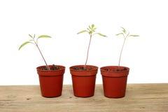 plantatomat Royaltyfri Fotografi