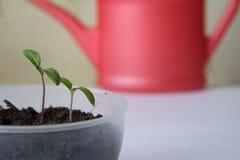 Plantatomat i krukor Royaltyfria Bilder