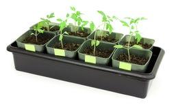 plantatomater arkivbild