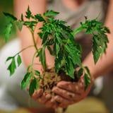 Plantatomater i bondehänder Royaltyfri Fotografi