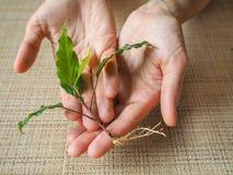 Plantaväxt i händerna av kvinnor arkivbilder