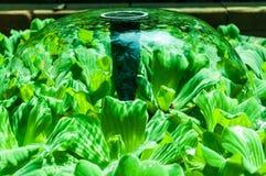 Plante aquatique Photo libre de droits
