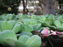 Plante aquatique Photo stock