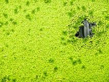 Plante aquatique de couleur verte Photographie stock