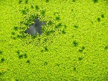 Plante aquatique de couleur verte Images stock