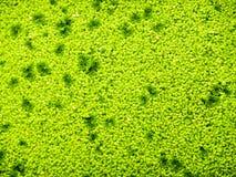 Plante aquatique de couleur verte Images libres de droits