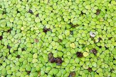 Plante aquatique verte de feuille Photos stock