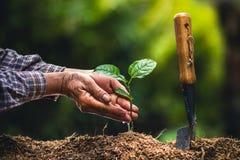 Plante as plântulas fortes de um fruto de paixão da árvore, plantando a árvore nova pela mão velha no solo como o conceito do wol imagens de stock royalty free