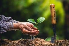 Plante as plântulas fortes de um fruto de paixão da árvore, plantando a árvore nova pela mão velha no solo como o conceito do wol fotografia de stock