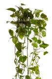 Plante cultivée dans le bac s'arrêtant Photo libre de droits