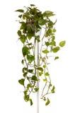 Plante cultivée dans le bac s'arrêtant Photos stock