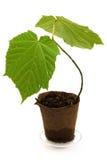 plante d'érable Image stock