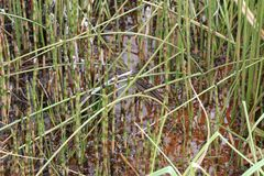 Plante d'étang Photographie stock