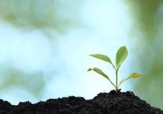 Plante d'arbre cultivée Photographie stock