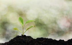 Plante d'arbre cultivée Image stock
