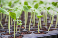 Plante d'arbre cultivée et x28 ; sprout& x29 ; Photographie stock libre de droits