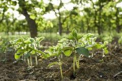Plante d'haricots Images libres de droits