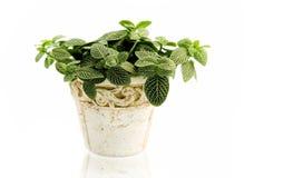 Plante d'intérieur photo stock